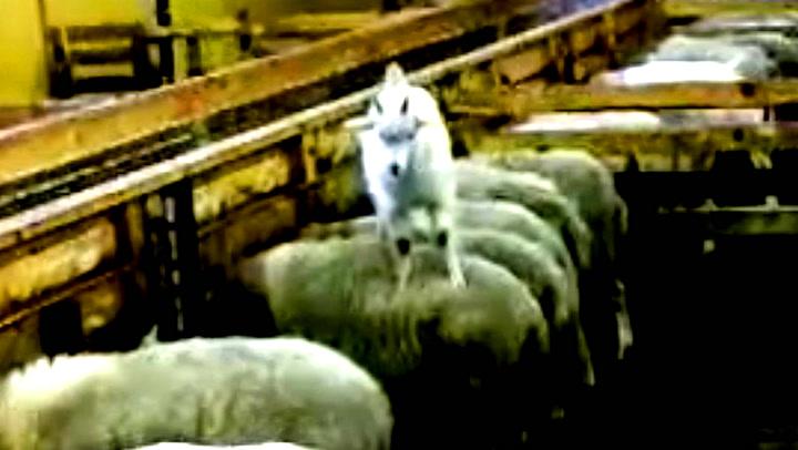 Henriks hyperaktive geitekilling bruker sauene som klatrestativ