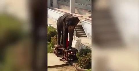 Una elefanta esquelética es obligada a realizar números circenses en un zoo de Tailandia