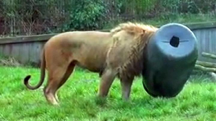 Løve havnet i skikkelig kattepine