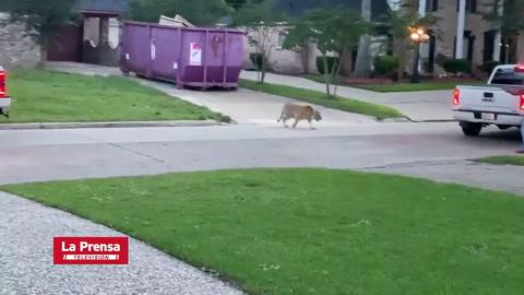 Terror en Texas por tigre de Bengala que ronda un vecindario