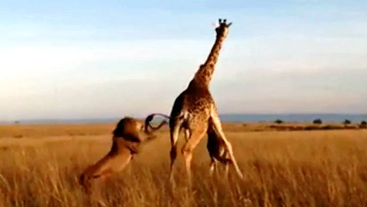 Løven angriper sjiraffmoren - men har et annet bytte i sikte