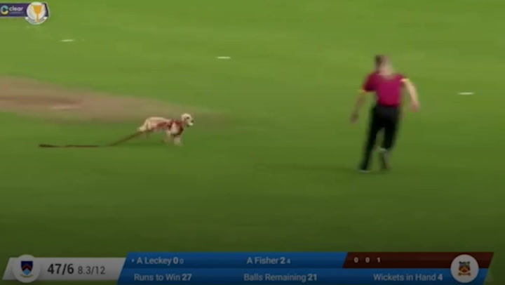 Dog runs onto cricket pitch and plays fetch with ball