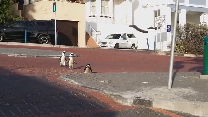 Un grupo de pingüinos se pasea por las calles de un pueblo de Sudáfrica