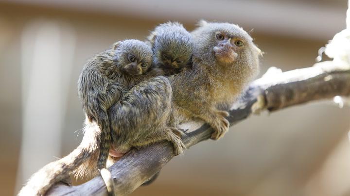 Verdens minste apekatter med verdens søteste barn