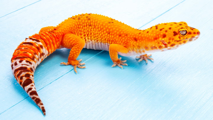 6 Ways A Leopard Gecko Can Stand Out From The Crowd