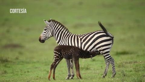 Cebra nace con puntos en lugar de rayas en una reserva de Kenia
