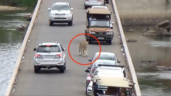 Løve skapte trafikkaos