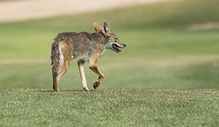 Coyotes spotted inside a guarded and gated Summerlin community – VIDEO