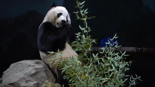 Luto: Washington dice adiós a su amado panda