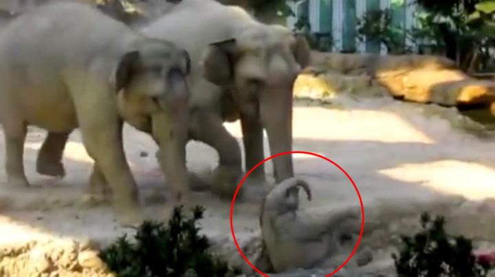 Utrolig reaksjon fra elefantmoren når babyen faller