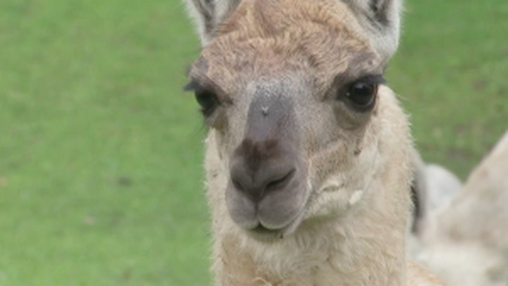Llama antibodies being tested for Covid treatment by Belgian start-up