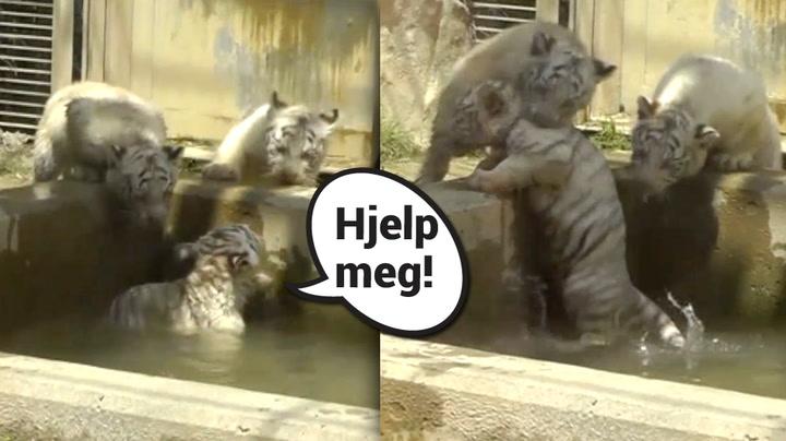 Tigerbrødre med verdens søteste redningsaksjon