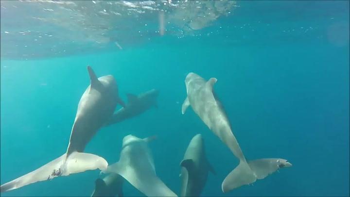 Bottlenose dolphins glide through ocean alongside ship