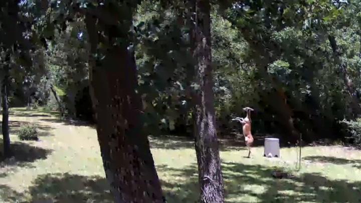 Deers get into elegant fighting match in Texas