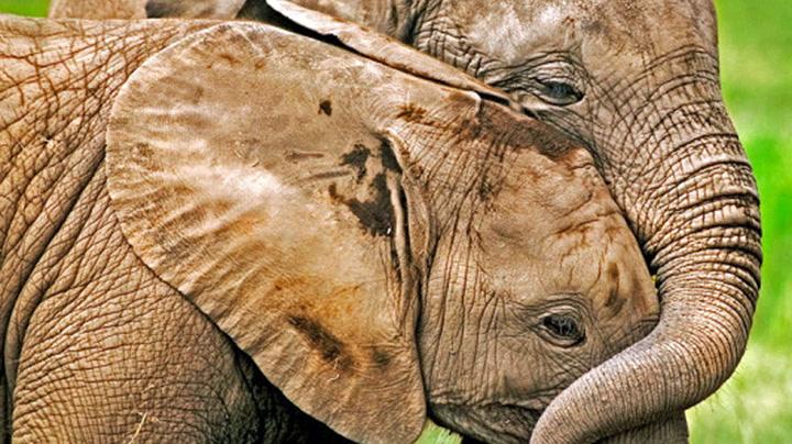 I dag er verdens elefantdag