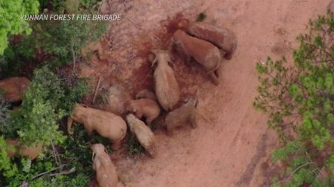 China usa drones y bananos para conducir a elefantes de vuelta a casa.mp4