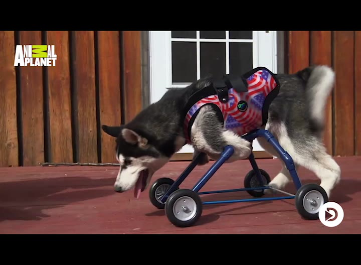 Rørende øjeblik: Handicappet hundehvalp tager sine første skridt