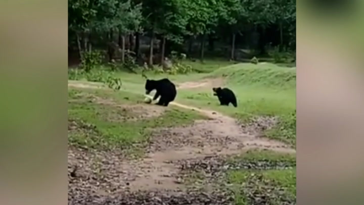 Adorable black bears play with football they stole from children