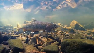 Brook trout found in Duluth area streams. Video submitted by Jeffrey Jasperson.