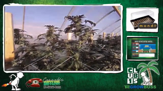 Cannabis Hotline #202 Relax And Let The Plant Grow Itself