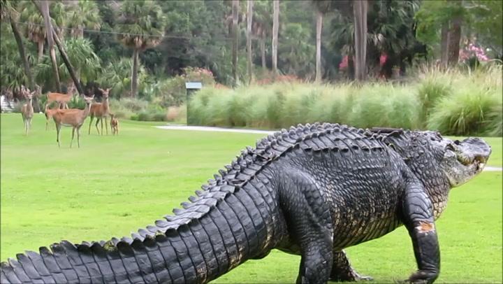 Ingen er redde for denne enorme alligatoren