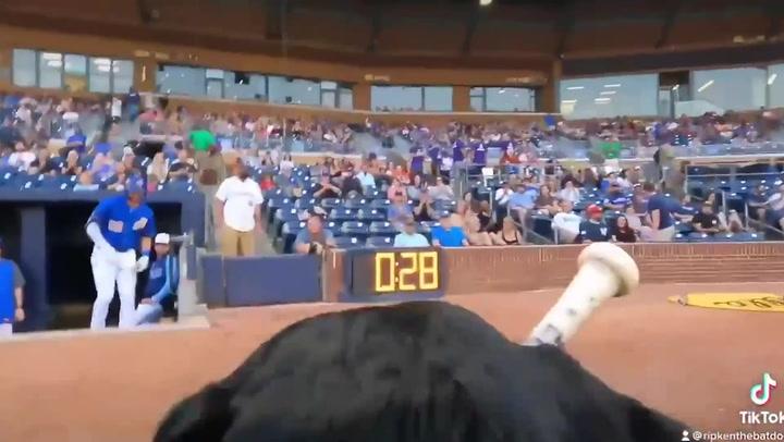 Adorable 'bat dog' retrieves baseball bats for North Carolina team