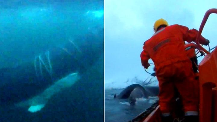 Hvalen hyler desperat – reddet fra tau-marerittet ved Kvaløya