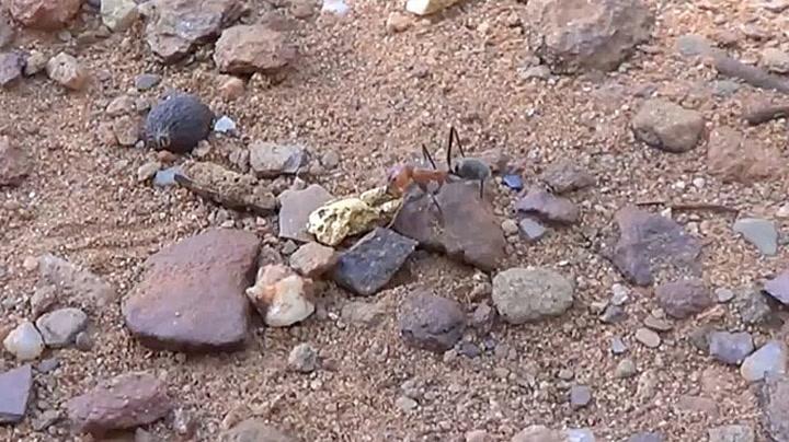 Supersterk maur stjal gullklump