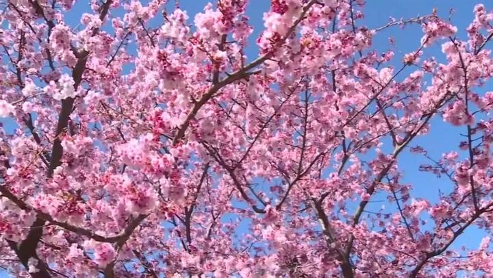 Kirsebærtre i full blomstring
