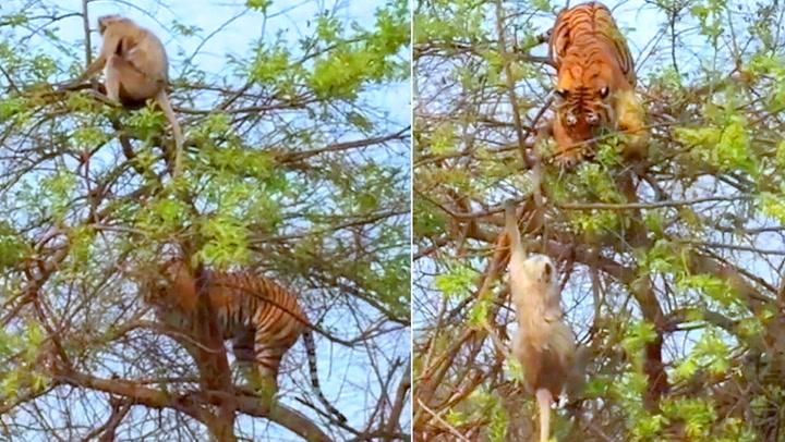 Sulten tiger ble offer for apestreker