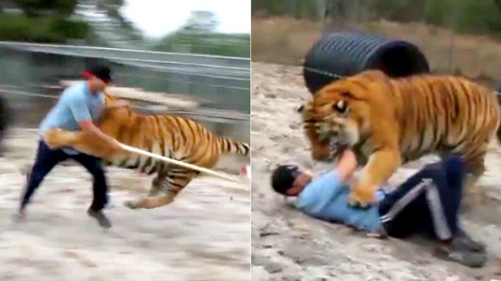 Aldri tirr en tiger – her slås han i bakken av 300 kilo katt