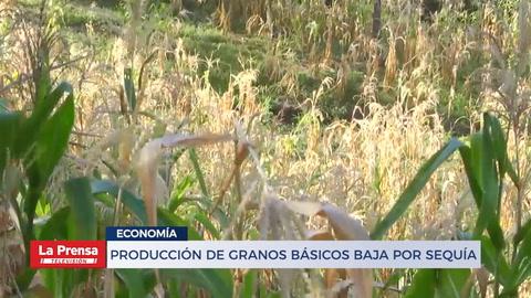 Producción de granos básicos baja por sequía