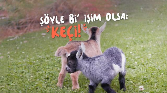 Şöyle bi' işim olsa: Keçi yavrusu bakıcılığı