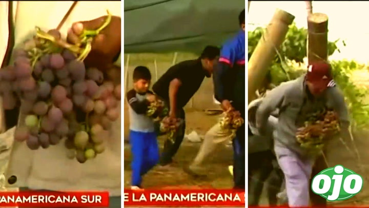 """Adultos y niños varados saquean viñedo y se llevan racimos de uvas: """"El hambre obliga"""""""