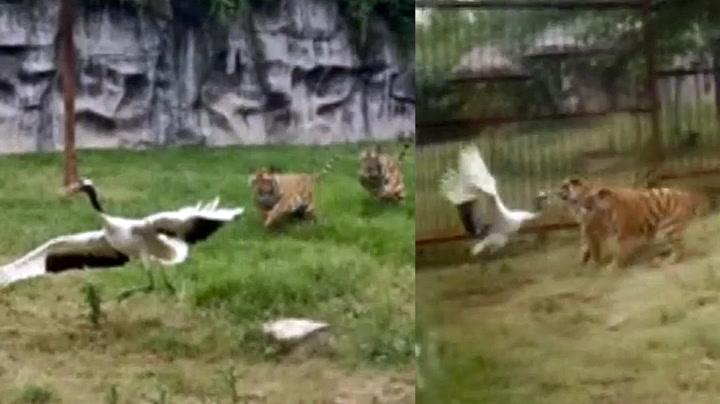 Tøff trane yppet med tigerne