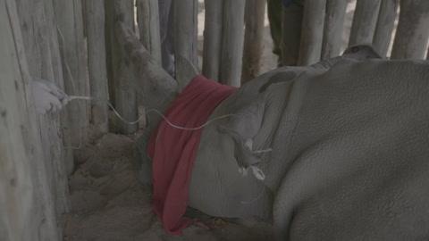 Los científicos intentan salvar de la extinción al rinoceronte blanco del Norte