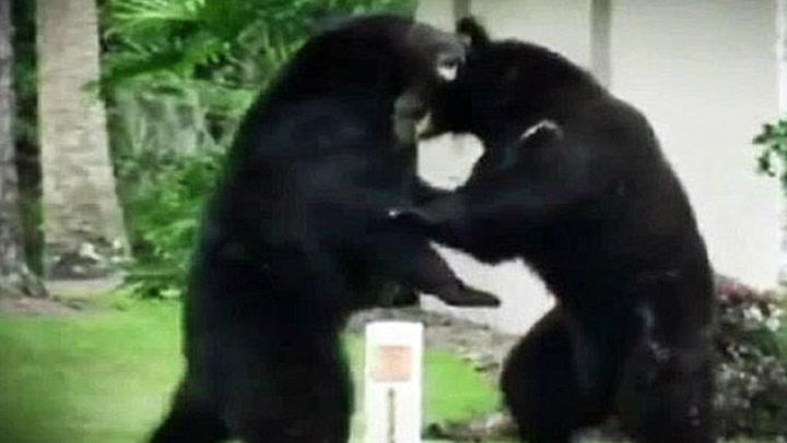 Her slåss bjørnene i hagen hans