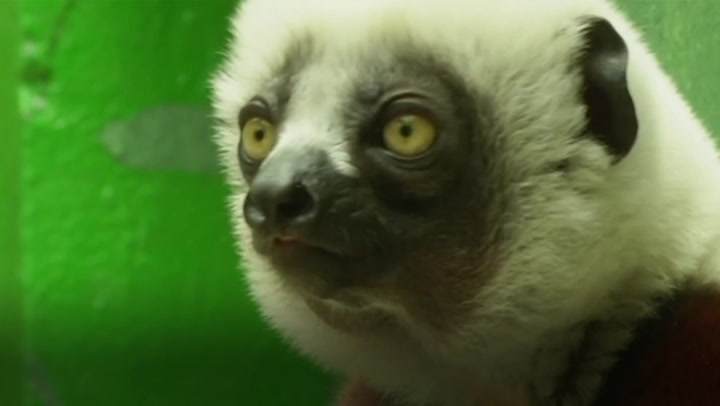 Endangered Madagascan lemurs never seen in Europe go on display at German zoo