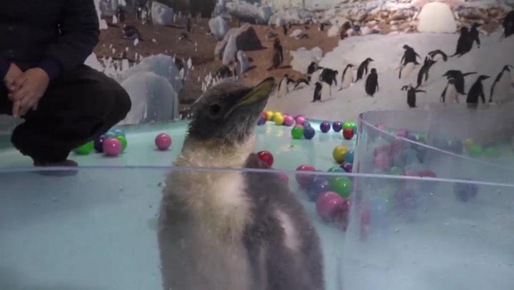 Nace en México primera cría de pingüino gentoo