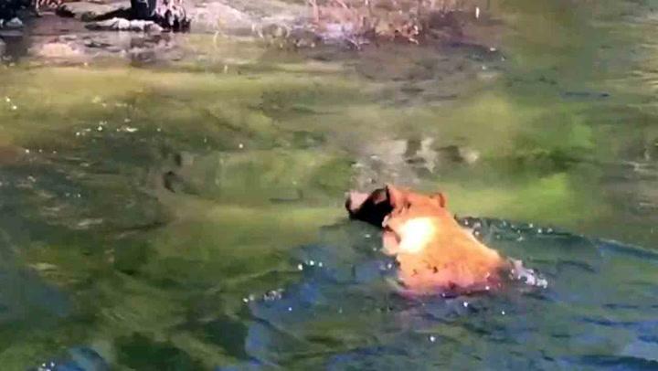 Turister ler av bjørn i trøbbel - så forsvinner den i strømmen