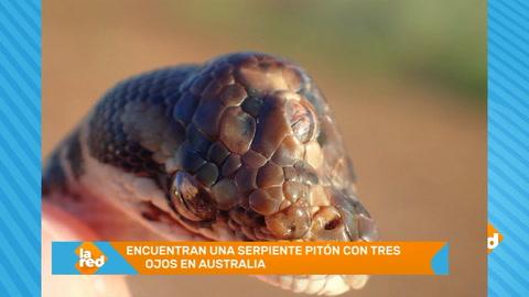 Hallan en Australia una extraña serpiente con tres ojos