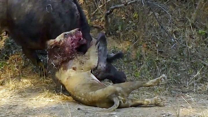 Dramatisk dødskamp mellom løve og bøffel