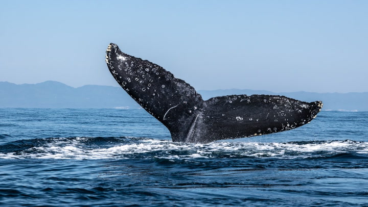 Number of Bitcoin Whale Entities Dropping