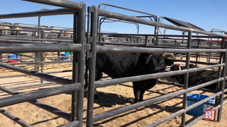 Bulls before PBR