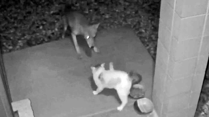 Prærieulven ypper med feil katt