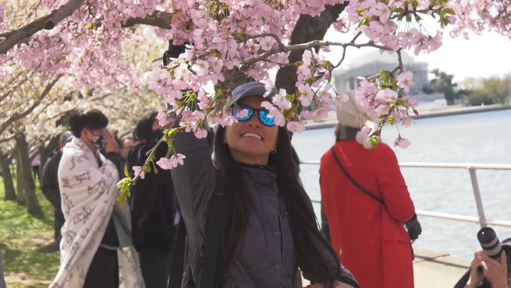 Visitors flock to see D.C.'s cherry blossoms despite cold
