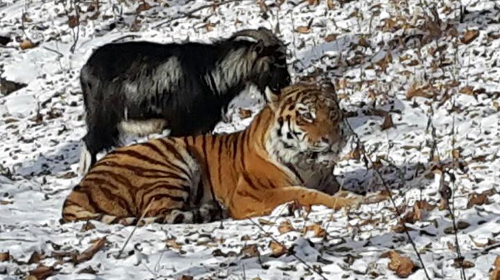 Sibirsk tiger og geit er uatskillelige