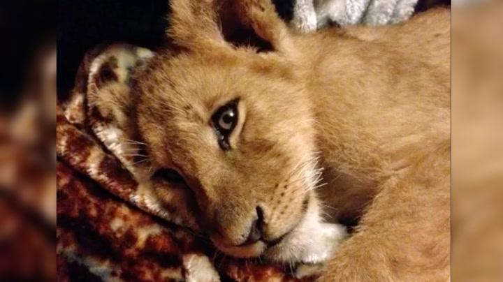 Løven Lambert elsker pledd