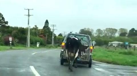 La desesperada persecución de una vaca al remolque en el que se llevaban a sus terneros