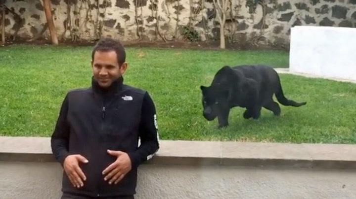 Jaguaren smyger seg innpå – bare for å overraske dyrepasseren